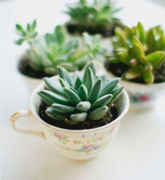 succulentes tasse